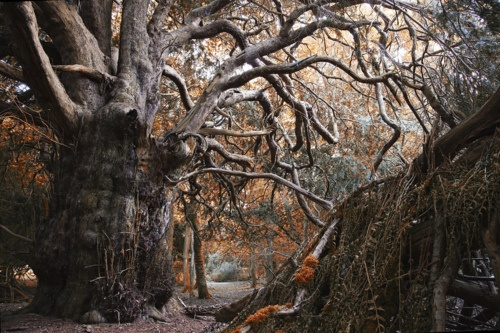 Ancient yews at Kingley Vale, West Sussex