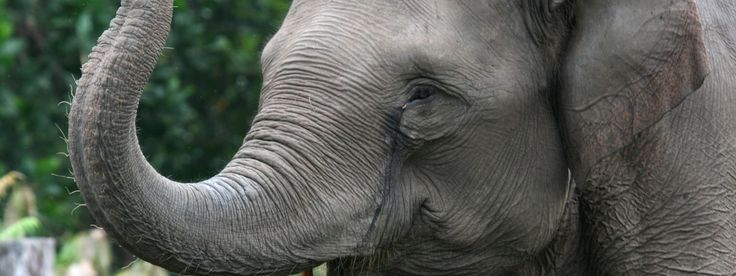 Asian Elephant: 20,000-25,000 individuals left