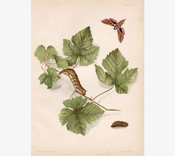 vine wine antique botanical print chromolithograph hawk moth