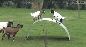 Practicing how to goat…LOL!