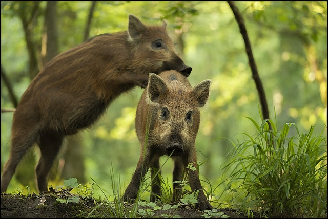Leap-frog: Two young wild boar playing leap-frog in the Forest of Dean.