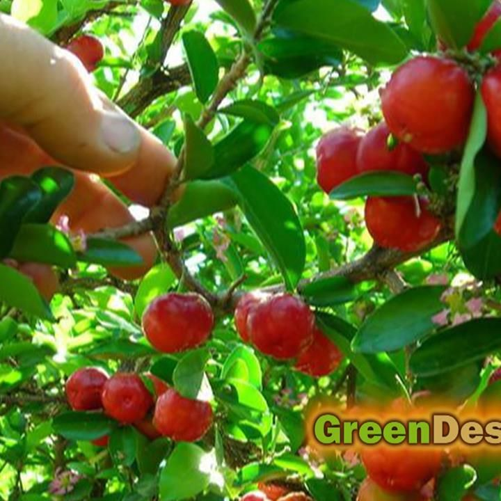 65x More Vitamin C Than an Orange Acerola Cherry: It's packed with Vitamin C . It's astounding that a small cherry contains elevated vitamin C even when