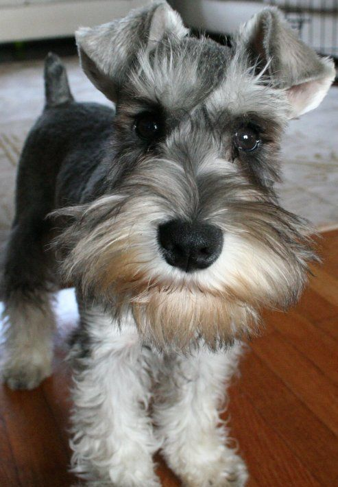 How awesome are Miniature Schnauzers? We know, they are SO awesome. They are both tiny and adorable while still basically looking like wise, old bearded men, what's not to love?