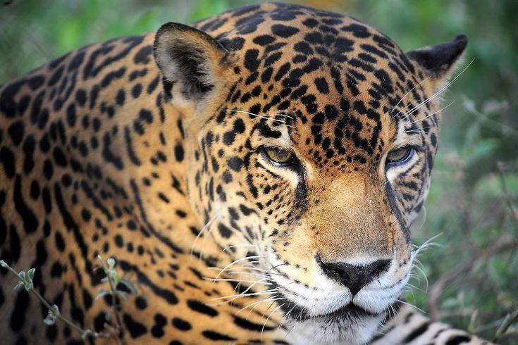 This Is Bobby Jaguar Costa Rica Costa Rica Wildlife Wild Cats Melanistic
