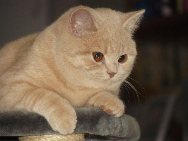 Brits korthaar kitten crème. britintkort.nl voor catteries en foto's van alle kleurvariaties.