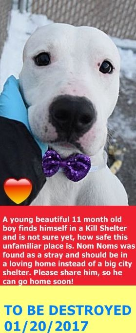 Brooklyn Center NOM NOMS – A1101091  NEUTERED MALE, WHITE, AM PIT BULL TER MIX, 11 mos STRAY – STRAY WAIT, NO HOLD Reason STRAY Intake condition UNSPECIFIE Intake Date 01/06/2017   http://nycdogs.urgentpodr.org/nom-noms-a1101091/