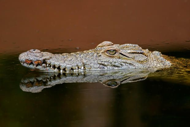 The Nile crocodile can hold its breath underwater for up to 2 hours while waiting for prey. - 50 Awesome Facts (About Everything) | Mental Floss