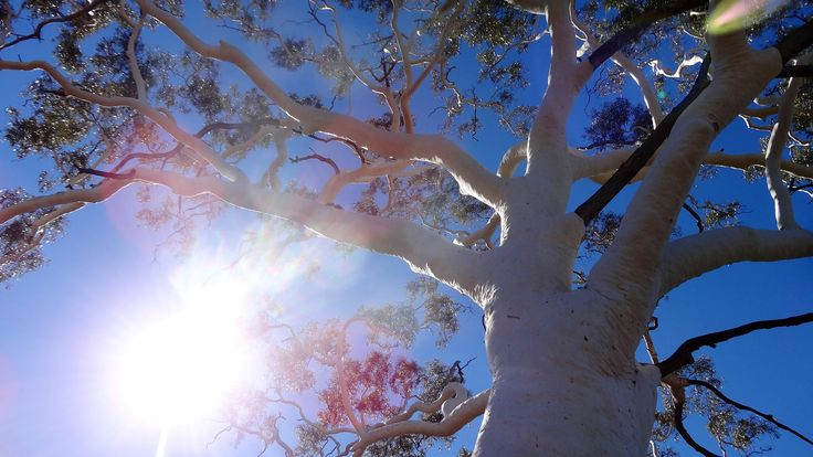 Largest Ghost Gum in central Australia