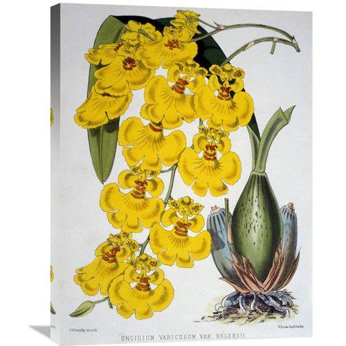 Oncidium Varicosum Var. Rogers Ii By Samuel Jennings, 22 X 30-Inch Wall Art