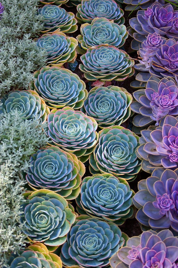 Hens and chicks, love these colors!