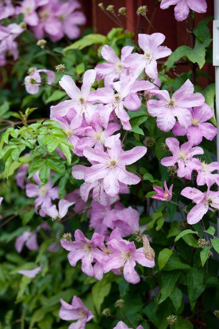 Clematis 'Comtesse de Bouchaud' | Zon V. Senblommande och storblommig klematis med vackert gammelrosa, enkla blommor (10-15 cm). Blommar rikligt från juli tull september. Klättrar i träd, klätterrosor, spaljéer och pergolor. Uppkallad efter hustrun till en greve som hade en trädgård i byn Chasselay vid staden Rhône i Frankrike. Höjd ca 3 m.