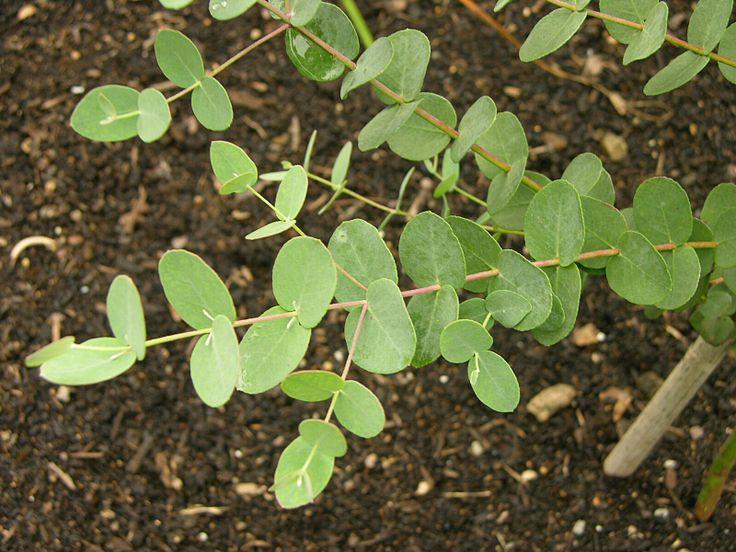 Febertre, Eucalypthus gunnii, Myrtaceae Myrtefamilien, SNITT