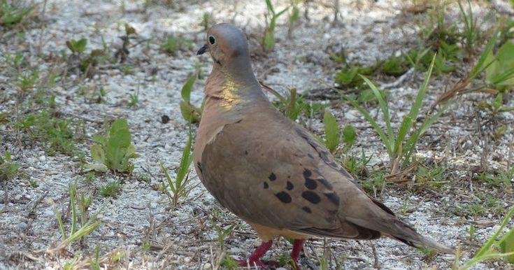 Tourterelle-triste-Zenaida-macroura-Tourterelle-de-la-Caroline-Mourning-dove