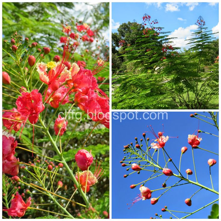 My dwarf royal poinciana flowering tree bush in our front for Dwarf flowering trees