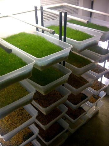 Growing fodder for chickens