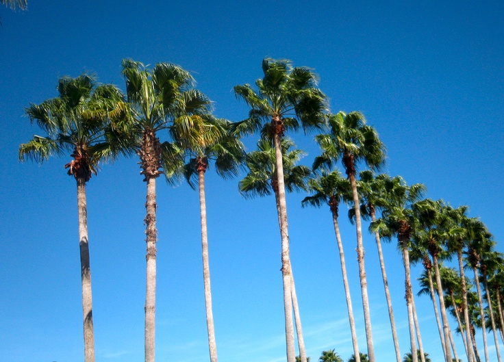 17 Best Images About Orlando Fl Palm Trees On Pinterest