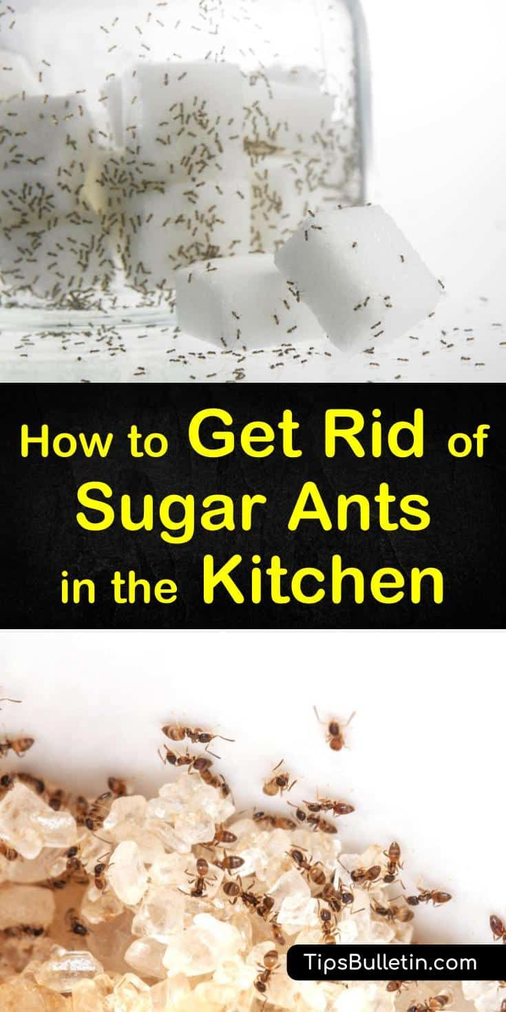4 Simple Ways To Get Rid Of Sugar Ants In The Kitchen Sugar Ants