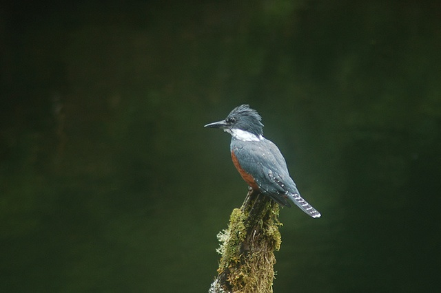 King Fisher. You can always see them along the Cochamo and Puelo Valleys. Their strong warble echoes in the mountains, and gives us the opportunity to watch it as it fishes in Patagonia's crystal clear water