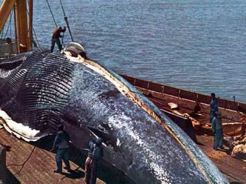 Worlds Largest Blue Whale colony - Discovered in Sri Lanka - YouTube