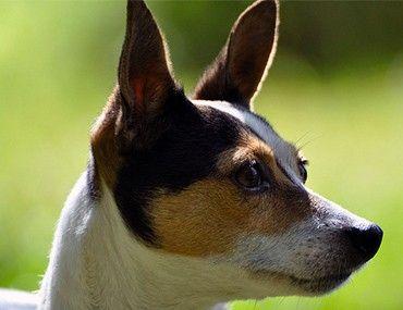 Canine Immune-Mediated Hemolytic Anemia (IMHA)