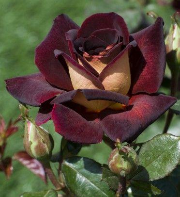 DARK NIGHT Rose / Armstrong Garden Centers