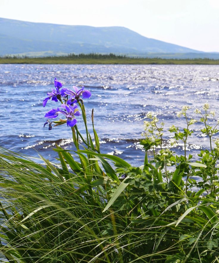 Sense and Simplicity: Irises near Western Brook Pond at Gros Morne Park