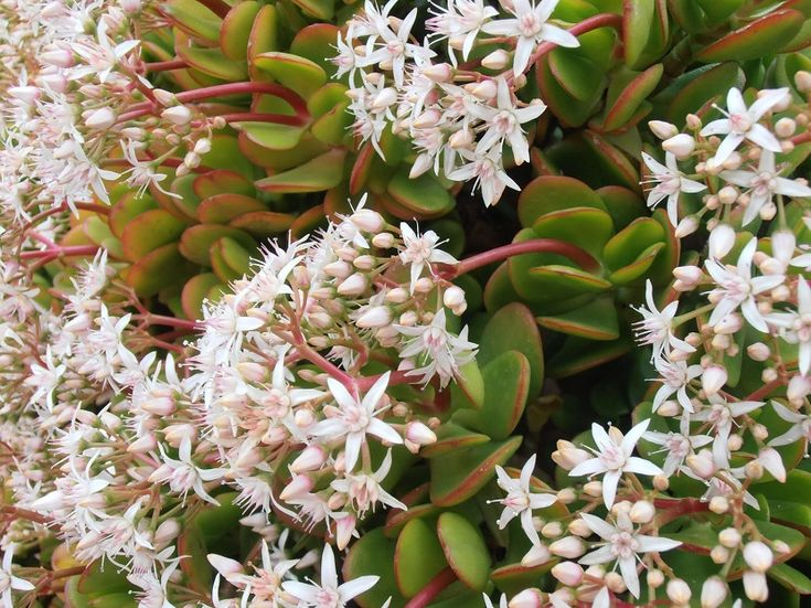 Cultivo y cuidado de una planta de jade - https://www.jardineriaon.com/cultivo-cuidado-una-planta-jade.html #plantas