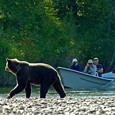 Grizzly bear watching in Bella Coola (Michael Wigle photo)