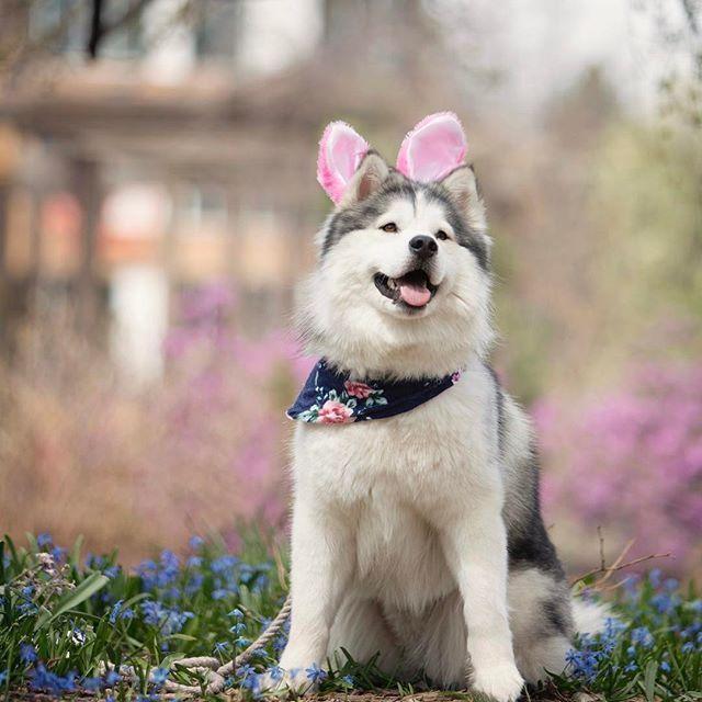 Happy Easter From Mocha Bear Bunny Happyeaster Cute Dogs Dog