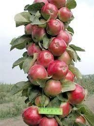 Колоновидная яблоня. | Дачники