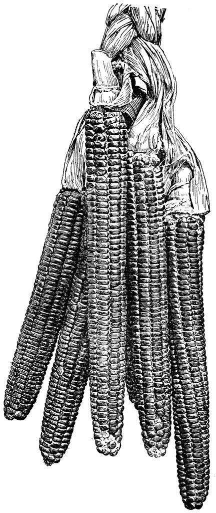 Vintage Corn Illustration