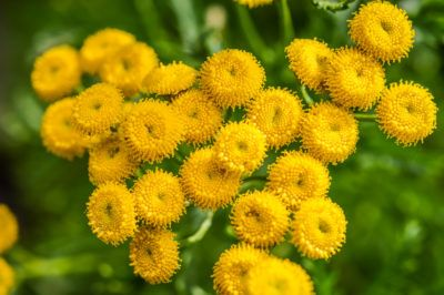 Tansy Plant Info: Tips On Growing Tansy Herbs - Despite the fact that tansy can become problematic in some areas, it is a pretty little plant that adds potassium to soil while repelling several annoying insect species. Learn more about growing tansy for its herbal properties in this article.