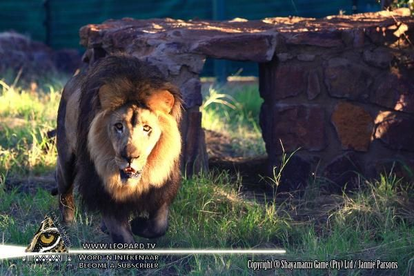 The Great African Cats of Shayamanzi!