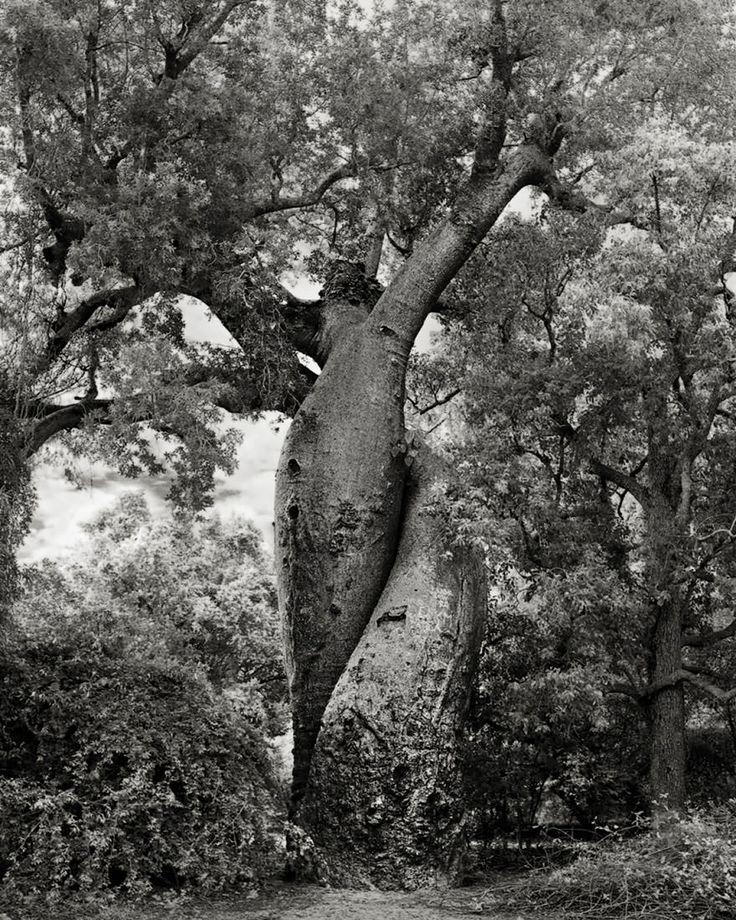 arbre majestueux 20