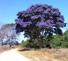 Sucupira - Bowdickia nitida Spruce ex Benth