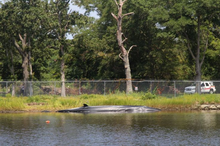 A 45-foot young female sei whale was spotted in the Elizabeth River in August 2014, but it's distance from home was the least of its concerns.