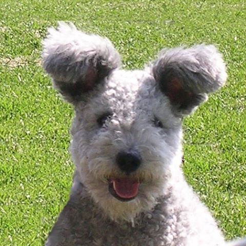 The Pumi, also known as the Hungarian herding terrier, is a medium-small breed…