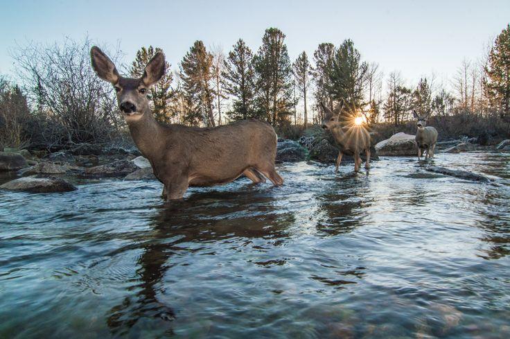 Picture of mule deer crossing river