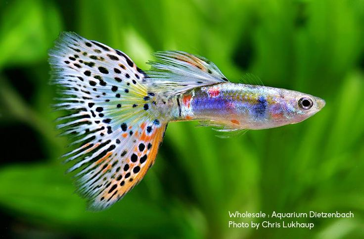 1000+ images about Aquatic Pets on Pinterest Scarlet, Fresh water ...