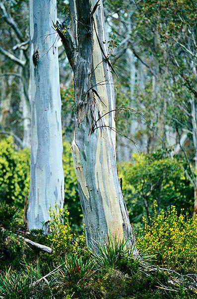 blue gum tree, tasmania