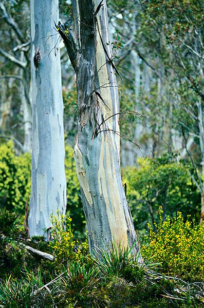 blue gum tree, tasmania