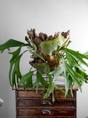 "Staghorn Fern | Platycerium bifurcatum's scraggy center leaves give way to antler-like fronds - the ""staghorns"" of its name."