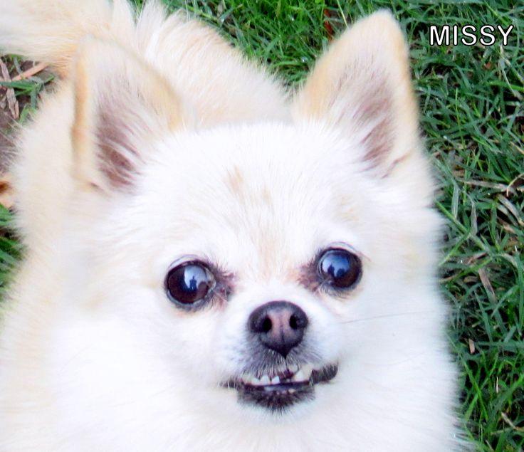 Pomeranian dog for Adoption in Lindsay, CA. ADN-698513 on PuppyFinder.com Gender: Female. Age: Adult