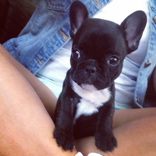 """""""Say what?!?"""" French Bulldog Puppy."""