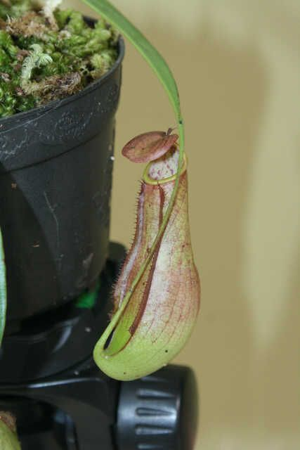 Nepenthes x Neglecta Hijau Semburat Merah