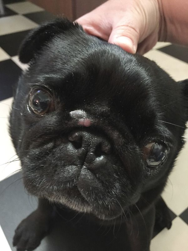 It is time to shed some light on where too many pug puppies come from and the repercussions of backyard breeding and puppy farms. I discuss why you should not buy a pug puppy from backyard breeders or puppy farms.  Please note: this post is confronting and contains come graphic photos but it is the sad truth.  http://www.thepugdiary.com/truth-about-pug-puppies-backyard-bredding/