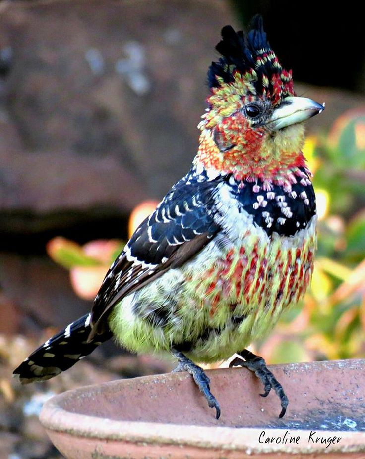 Crested Barbet Look at the artistry in nature and see the Creator!