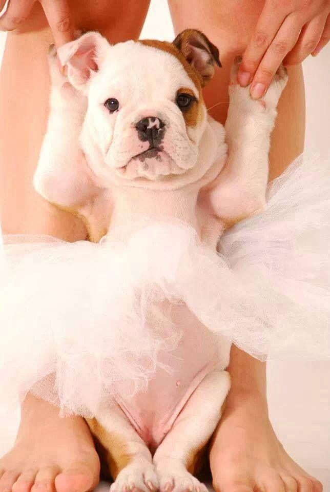 Ballet Bulldog...