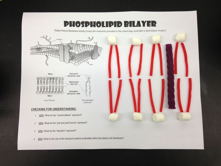 "I created this edible ""phospholipid bilayer"" activity to help my students remember the structure and key parts of a typical cell membrane. Each student receives a snack bag with 8 marshmallows, 2 two inch sections of pull peel licorice, and 1 four inch piece of a red vine licorice (I used grape flavored red vines this year as the ""Purple"" transport ""Protein"".) After completing a worksheet about the functions key parts of a cell membrane, we each assemble one pair share about each part. :)"