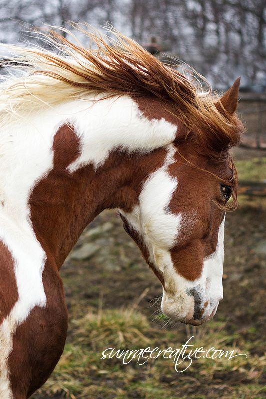 Missouri Fox Trotter Stallion, Lucky